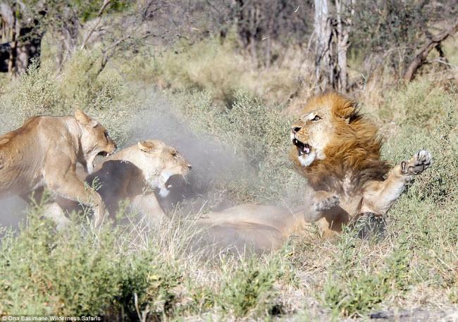 """Bỏ đi lâu ngày, sư tử đực bị đàn sư tử cái """"xử"""" phũ phàng - 1"""