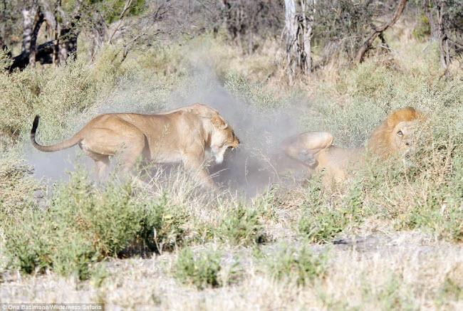 """Bỏ đi lâu ngày, sư tử đực bị đàn sư tử cái """"xử"""" phũ phàng - 4"""