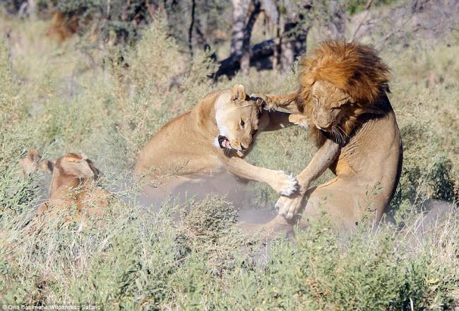 """Bỏ đi lâu ngày, sư tử đực bị đàn sư tử cái """"xử"""" phũ phàng - 3"""