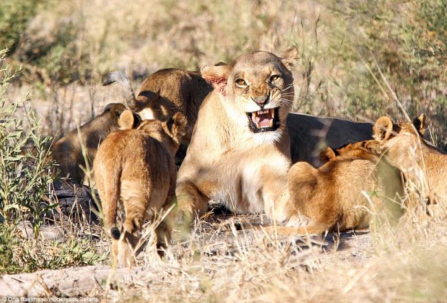 """Bỏ đi lâu ngày, sư tử đực bị đàn sư tử cái """"xử"""" phũ phàng - 5"""