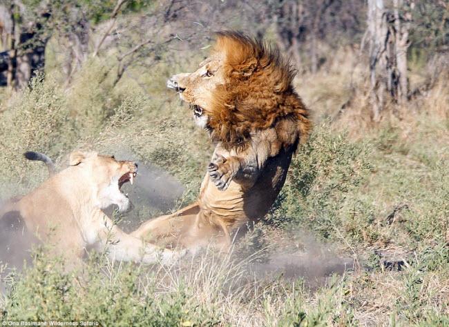 """Bỏ đi lâu ngày, sư tử đực bị đàn sư tử cái """"xử"""" phũ phàng - 2"""