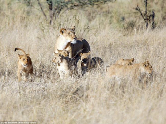 """Bỏ đi lâu ngày, sư tử đực bị đàn sư tử cái """"xử"""" phũ phàng - 6"""