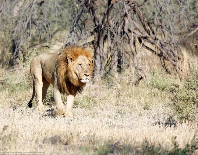 """Bỏ đi lâu ngày, sư tử đực bị đàn sư tử cái """"xử"""" phũ phàng - 7"""