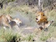 """Thế giới - Bỏ đi lâu ngày, sư tử đực bị đàn sư tử cái """"xử"""" phũ phàng"""