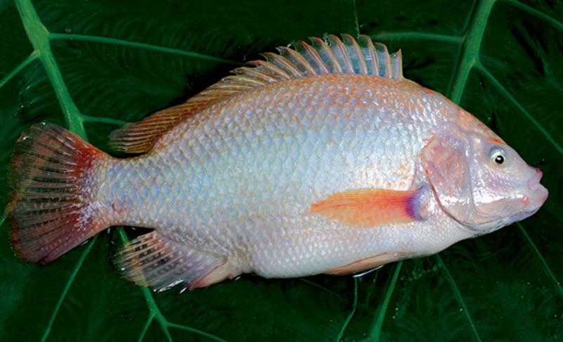 Cá hấp khế nóng hổi cho bữa cơm chiều ngon đậm đà - 1