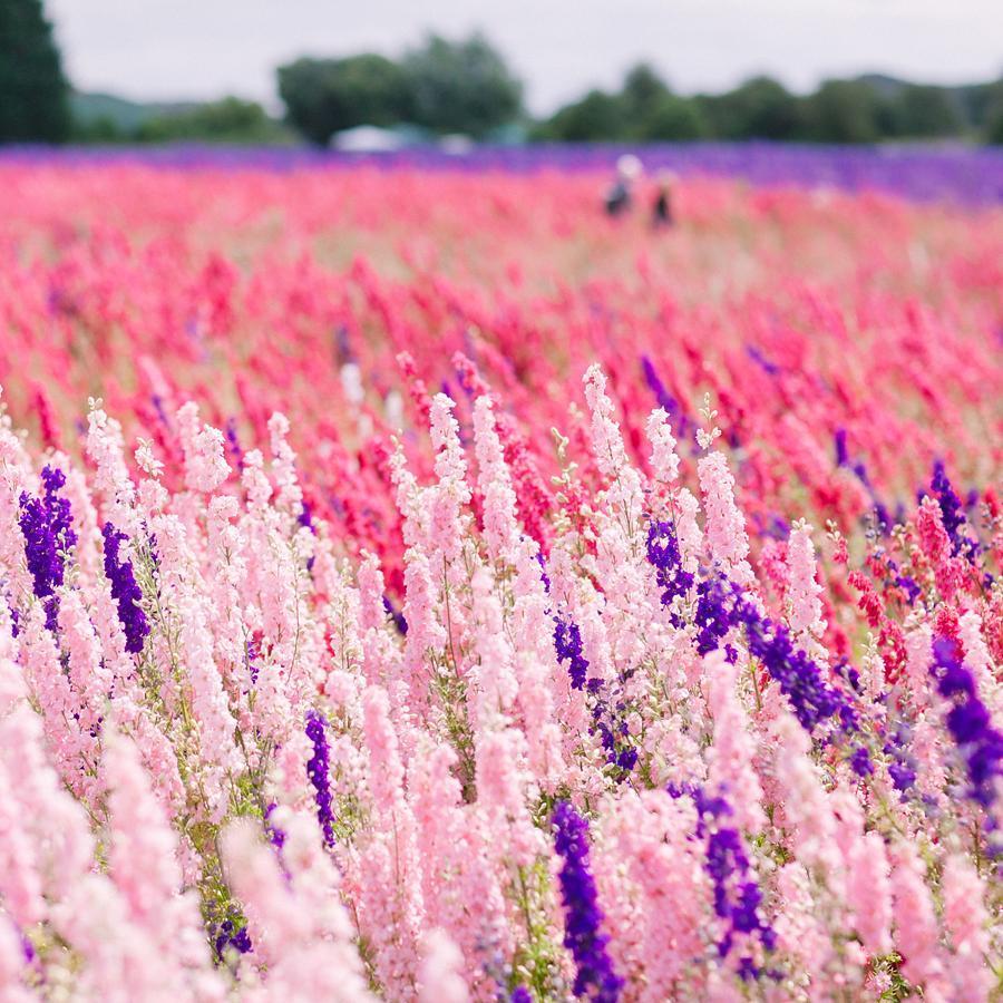 Ngỡ ngàng vẻ đẹp thiên đường hoa mùa hè chỉ mở cửa 7 ngày mỗi năm - 9