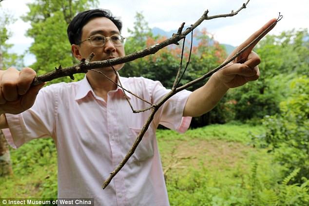 Con bọ que khổng lồ nhất thế giới, dài như cánh tay người - 1