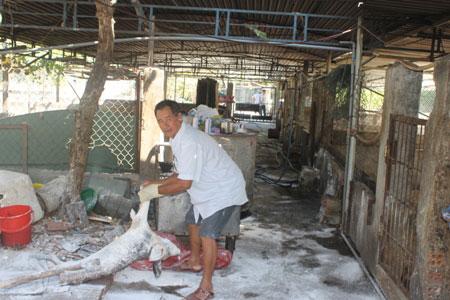 Khánh Hòa: Hơn 150 con lợn chết bất thường, dân chôn không xuể - 1