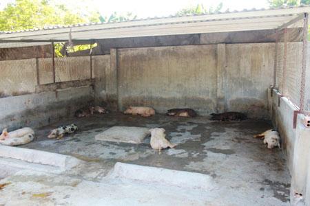 Khánh Hòa: Hơn 150 con lợn chết bất thường, dân chôn không xuể - 2