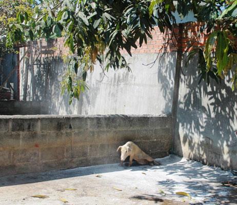 Khánh Hòa: Hơn 150 con lợn chết bất thường, dân chôn không xuể - 3