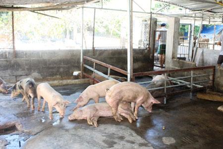 Khánh Hòa: Hơn 150 con lợn chết bất thường, dân chôn không xuể - 5