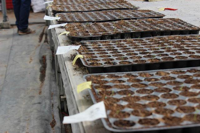 Chuyện lạ có thật: Thu chục tỷ đồng mỗi năm nhờ trồng ớt...lấy hạt - 2