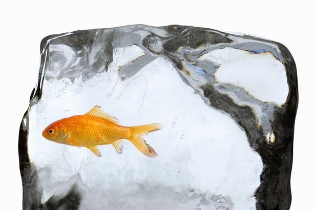 Nguyên nhân nước đóng băng không giết được cá vàng - 1