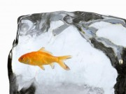 Thế giới - Nguyên nhân nước đóng băng không giết được cá vàng