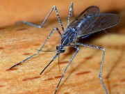 Tại sao bạn bị muỗi đốt nhiều hơn những người khác?