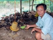 Thị trường - Tiêu dùng - Làm giàu từ chăn nuôi: Gà thả vườn trên đệm sinh học, chưa thấy ế