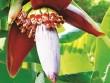 Hoa chuối chữa bệnh