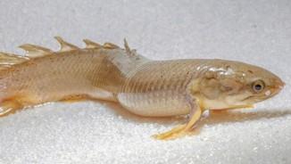 Cận cảnh loài cá siêu lạ: Đi trên cạn, sống trong không khí 8 tháng
