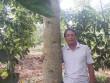 """Người thích trồng """"cột chống trời"""", mỗi cây dổi cho thu 1 cây vàng"""