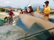 Thị trường - Tiêu dùng - Gặp đàn cá cơm dày đặc, ngư dân Ninh Thuận hốt bạc triệu