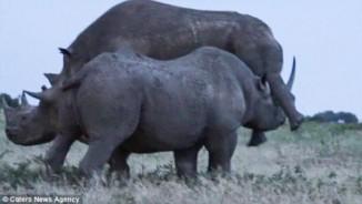 """Tê giác đực hất văng tình địch rồi nhảy vào """"yêu"""""""