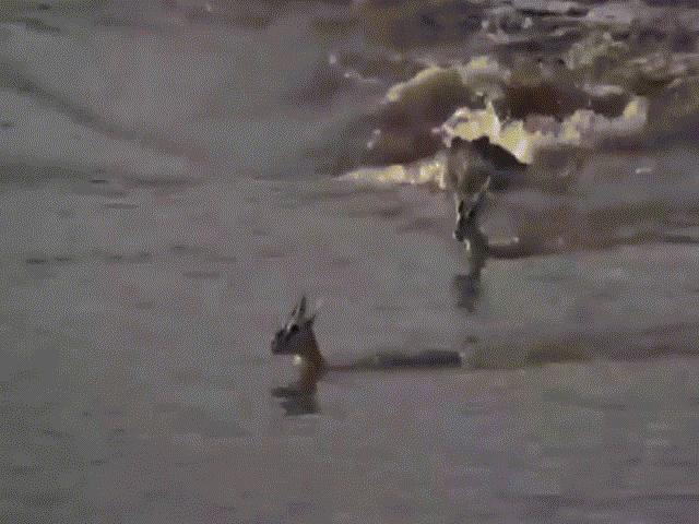 Thấy linh dương qua sông, cá sấu lao đến như thuyền cao tốc