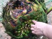 """Tin tức trong ngày - Xuất hiện thêm cây vạn tuế """"mắn đẻ"""", ra gần 400 quả ở Nghệ An"""