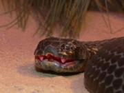 Thế giới - Loài rắn kịch độc đến mức 10 triệu năm không cần tiến hóa