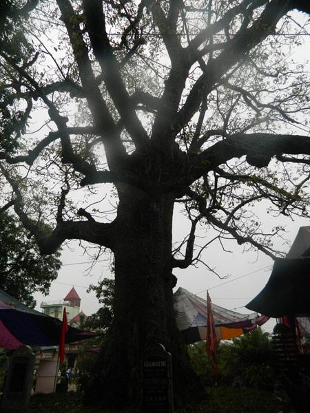 """Đây là những """"cụ cây"""" vô đối về tuổi đời tại Việt Nam - 1"""