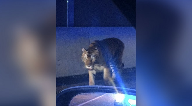 Hổ dữ nhảy qua hàng rào, đánh nhau với chó nhà ở Mỹ - 1