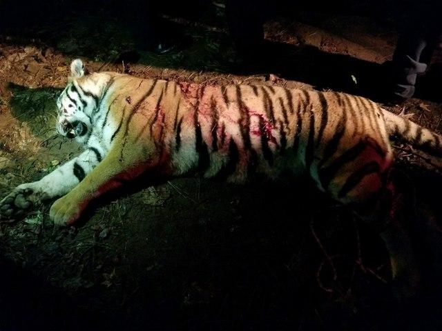 Hổ dữ nhảy qua hàng rào, đánh nhau với chó nhà ở Mỹ - 2