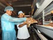 Thị trường - Tiêu dùng - Sau lô gà Việt đầu tiên đi Nhật, tiềm năng xuất khẩu rộng mở