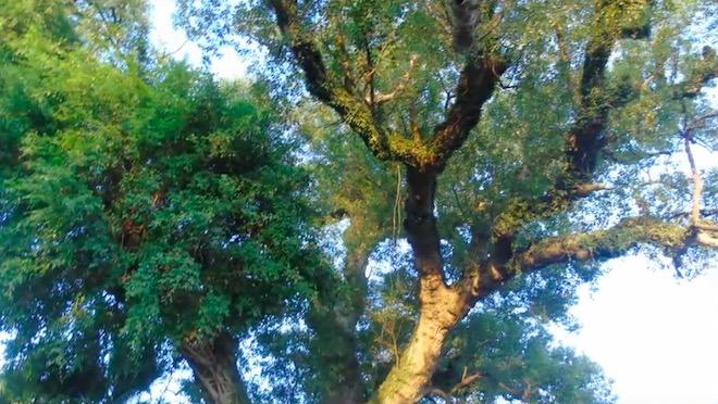 """Chuyện đời của """"cụ cây"""" từng trải qua 7 thế kỷ tại VN - 3"""