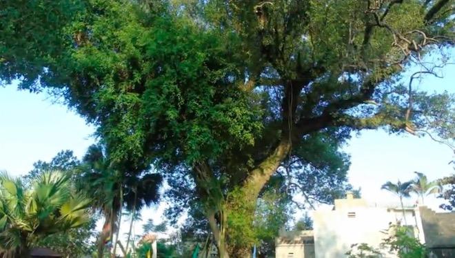 """Chuyện đời của """"cụ cây"""" từng trải qua 7 thế kỷ tại VN - 1"""
