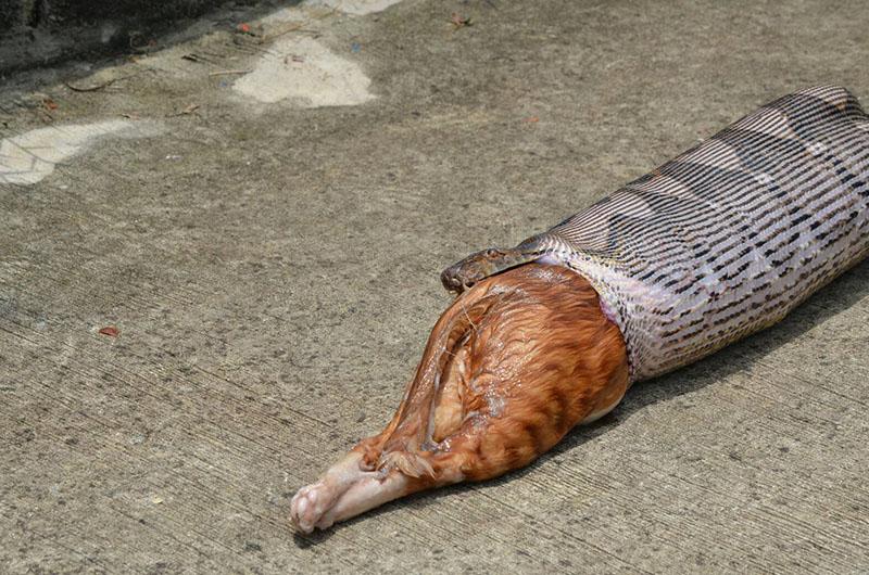 """Kinh dị cảnh trăn """"khủng"""" bị ép nôn trả vật nuôi ở Thái Lan - 4"""