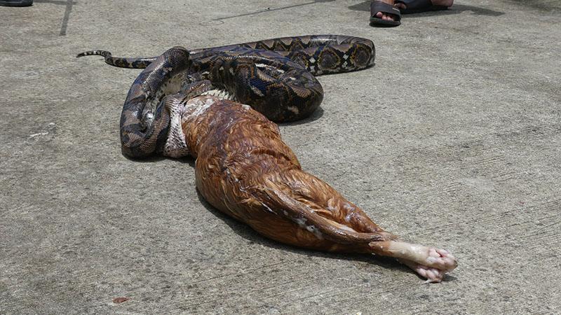 """Kinh dị cảnh trăn """"khủng"""" bị ép nôn trả vật nuôi ở Thái Lan - 5"""