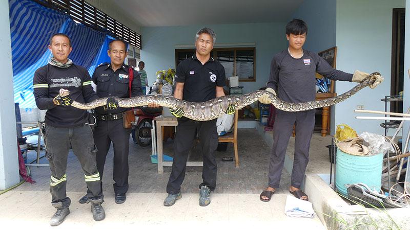 """Kinh dị cảnh trăn """"khủng"""" bị ép nôn trả vật nuôi ở Thái Lan - 1"""