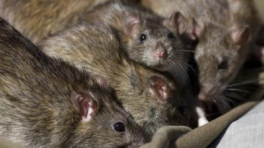 Pháp: Kinh hãi nữ sinh tàn tật bị đàn chuột tấn công - 1