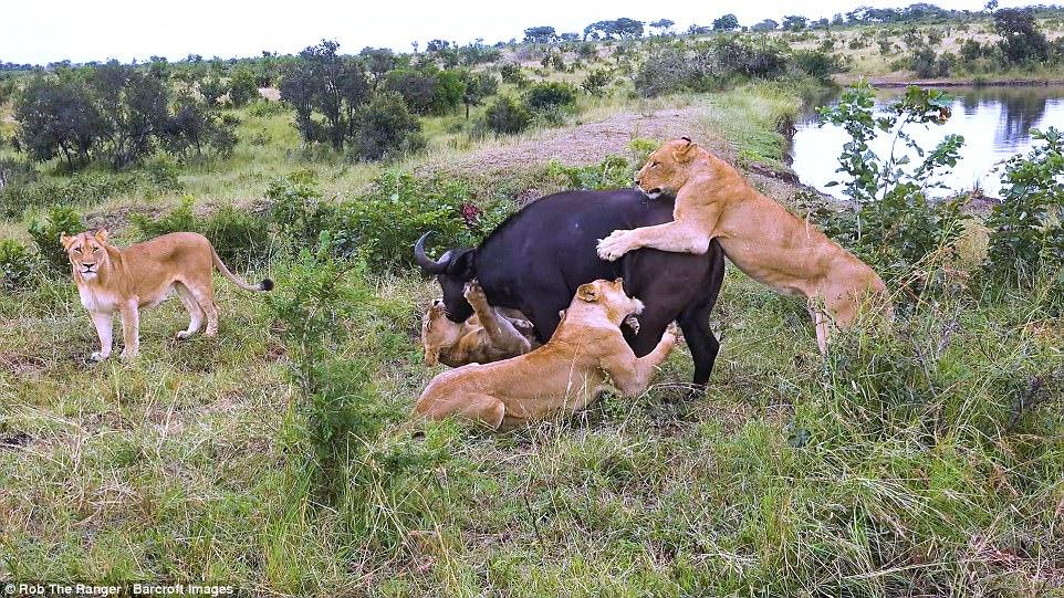 """Một con bị giết, cả đàn trâu rừng quay lại đuổi sư tử rồi """"khóc"""" bạn - 1"""