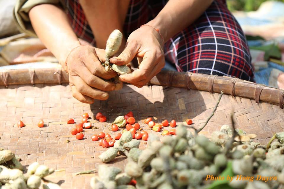 Làm giàu ở nông thôn: Một cây dổi đổi cả...chỉ vàng - 3