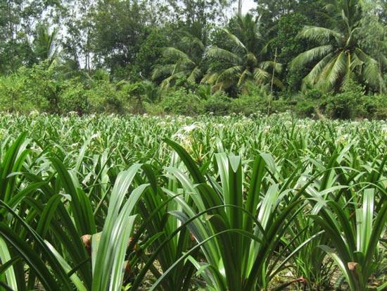 Lạ mà hay: Trồng 10 công lan như cấy lúa, chỉ bán củ, thu nửa tỷ - 2