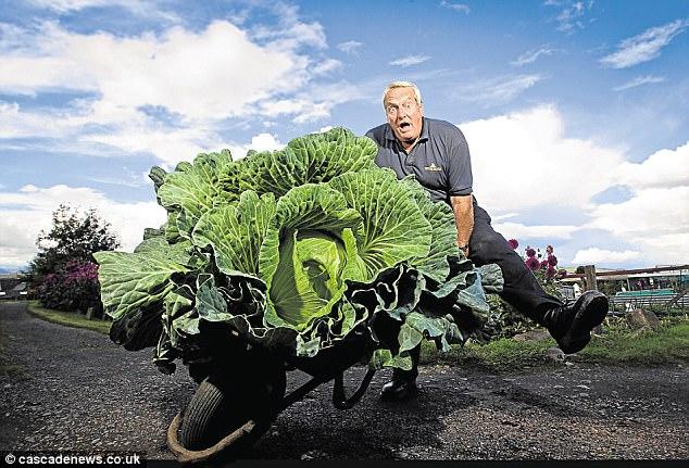 Tự nhiên trồng được bắp cải khổng lồ gấp 50 lần bình thường - 1