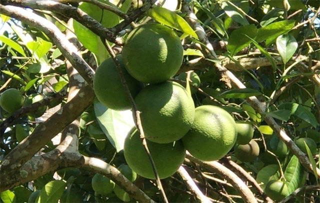 """""""Lộc rừng"""": Độc đáo trái hường vị ngon khó cưỡng chuẩn sạch 100% - 1"""