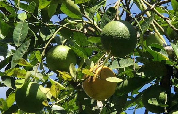 """""""Lộc rừng"""": Độc đáo trái hường vị ngon khó cưỡng chuẩn sạch 100% - 3"""