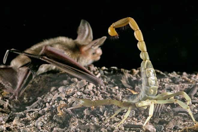 Loài dơi sát thủ chuyên đoạt mạng bọ cạp kịch độc ở Mỹ - 1