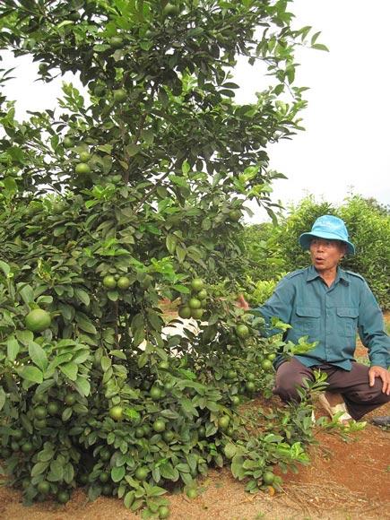 Bỏ ngô, chặt cà phê, trồng nhãn, cam, bưởi, lãi nửa tỷ/năm - 2