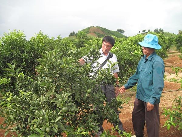Bỏ ngô, chặt cà phê, trồng nhãn, cam, bưởi, lãi nửa tỷ/năm - 3