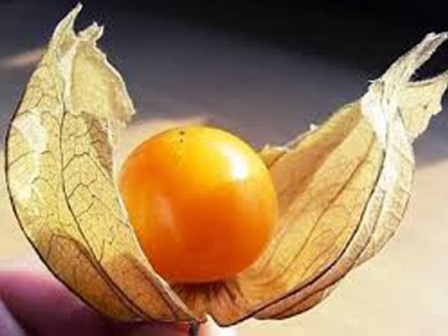 Loại quả dại ở Việt Nam lại là dược liệu quý như vàng ở Nhật Bản