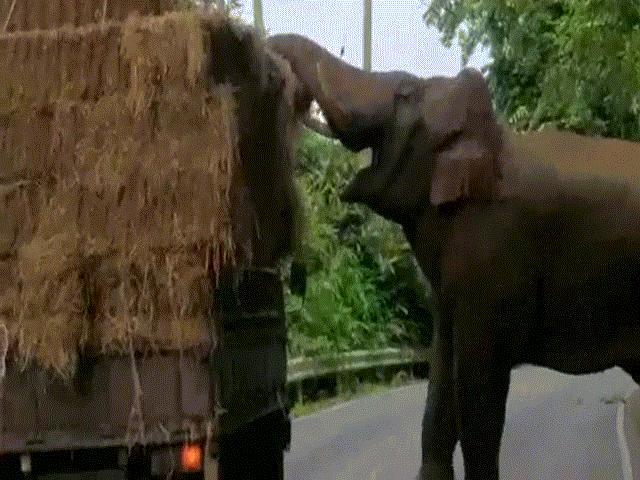 Voi khổng lồ chặn xe bán tải, thành thạo mở nắp kiếm thức ăn - 1
