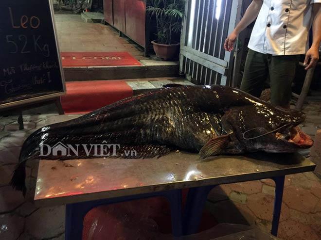 """Cá leo """"khủng"""" nặng 52kg, dài bằng người lớn tiền triệu/kg ở Thủ đô - 5"""